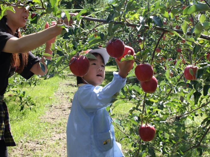 ゆうあい幼稚園リンゴ狩り