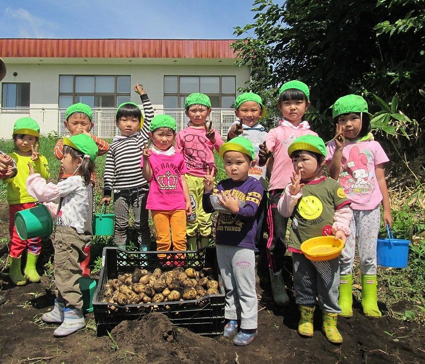 当別保育園 ジャガイモ収穫